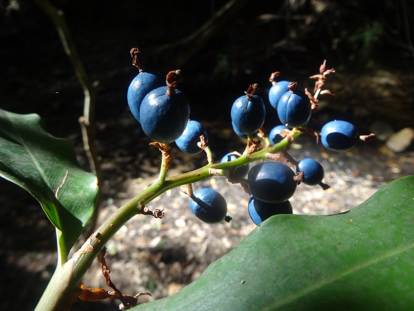 Cliff Top walk native berries